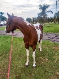 Urgente preço de oportunidade Cavalo Pent-horse muito forte e ligeiro.