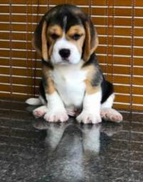 Os Mas Lindos! Beagle Filhote 13 Polegadas com Pedigree e Garantia de Saúde
