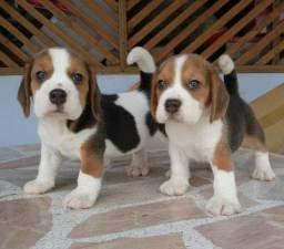 !!! Beagle tricolor filhote com pedigree e recibo. !!!