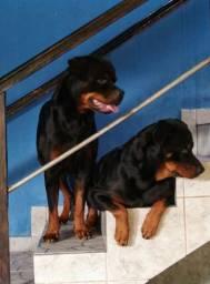 Vendo filhotes de Rottweiler os mais bonitos da Olx
