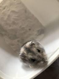 Doou um Hamster chinês
