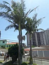 Vendo palmeira real imperial