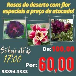 Rosas do Deserto especiais floridas