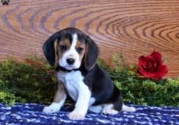 Beagle - Filhotes Macho e Fêmea