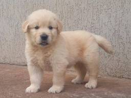 filhote de golden retriever