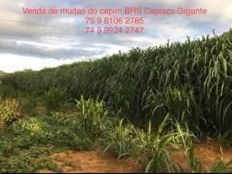 BRS Capiaçu Gigante - Capim Elefante