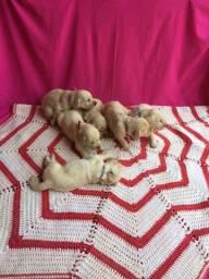 Vendo filhotes de Golden retriever / Reserva