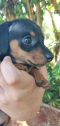 Fêmea  mini salsicha