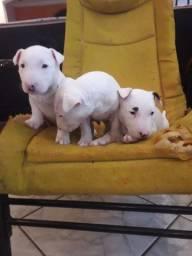 Filhotes de Bull Terrier inglês com pedigree