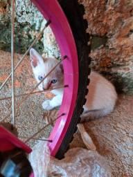 Doa se gatinhos siamês e rajado