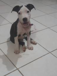 Vendo cachorro Pitbull fémina.