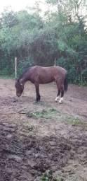 Vendo cavalo rosilho 2500