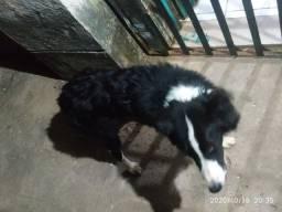 Vendo um cachorro da raça Border collie