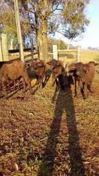 Bufalos