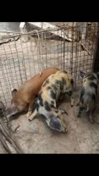 Porcas de raça