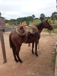 Égua crioula domada