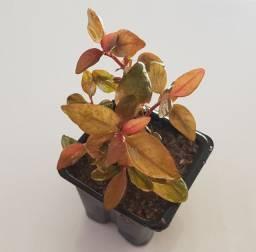 Alternanthera Lilacina Planta Vermelha Natural Aquario Plantado