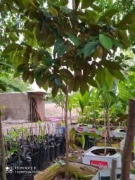 Abiu Roxo - Enxertado