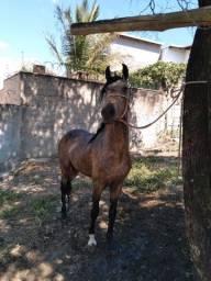 Cavalo inteiro Mangalarga