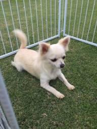 Linda Chihuahua pelo longo com 2 anos