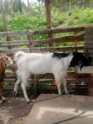 Lote de cabras, 01 bode reprodutor, 03 cabras enxertadas