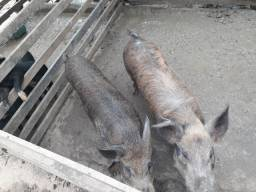 Vendo casal d3 porco