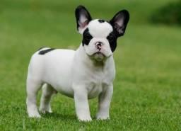 Adoto bulldog francês