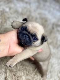 Pug mini lindos disponível