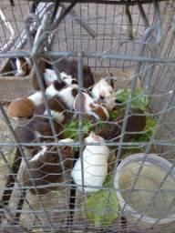 Lindos filhotes de porquinho da Índia.obs:sou de Sapiranga RS.