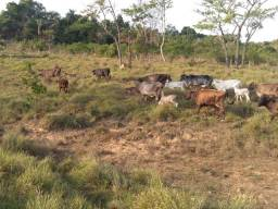 Animais agropecuário