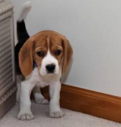 Beagle Filhote 13 Polegadas! Mini com Pedigree e Garantia de Saúde