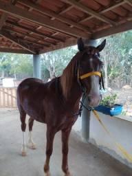 Lote: 1 - Cavalo MM Resgistro provisório. 2 - Cavalo 1/2 sangue QM/MM