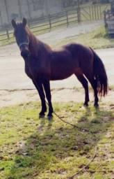 Cavalo crioulo - manço bom de laço 1mil o cavalo 1.500 encilhado
