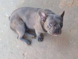 Bulldog Francês BLUE Sólido