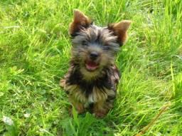 Filhotinhos de Yorkshire Terrier em 12x Sem Juros!!!