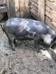 5 porcas prenhas
