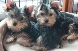 Yorkshire Terrier. Venha conhecer nossos Filhotes!