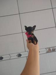 Mini Pincher femeasinha