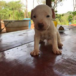 Cachorro Pitibull