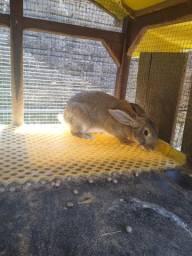 Coelha gigante