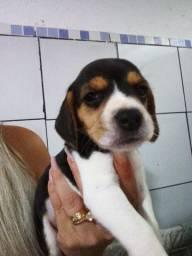 Lindos bebês de beagle