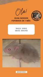 Filhotes de hamsters