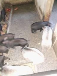 Leitão Java porco
