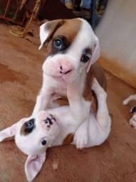 Filhotes de Boxer ?