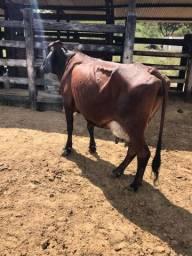 Vaca Girolanda e Novilhas