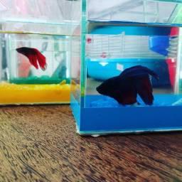 Beta com aquário