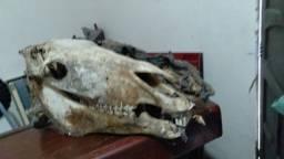 Crânio Natural de Cavalo  com couro