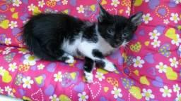 Doa-se filhote de gatinho fêmea