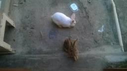 Vendo casal de coelho em procriação $50,00