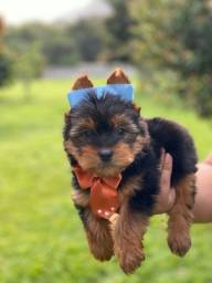 Yorkshire Terrier Microchip e Pedigree Grátis!